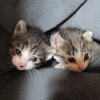 子猫 1ヶ月半位!会って見て!  キュウートが止まらない