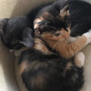 生後2ヶ月の三毛猫