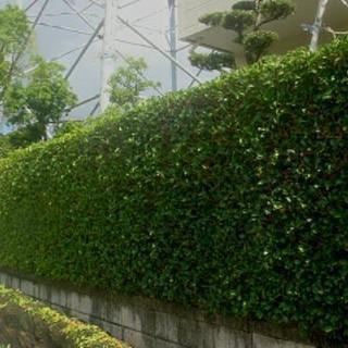 ■福岡市東区 生垣の剪定・生垣の刈り込み作業【福岡グリーン 東営業所】