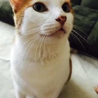 もふもふ茶白猫の甘えん坊くん。一人暮らしの女性必見!