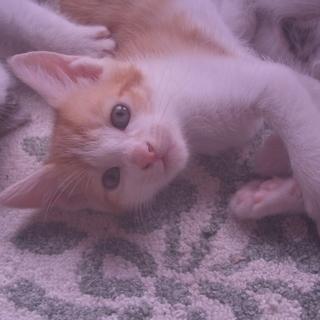 3ヶ月の仔猫、茶白・キジ白。