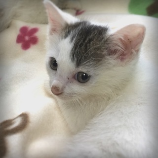 生後2.5ヶ月:白キジの女の子:ヒナ