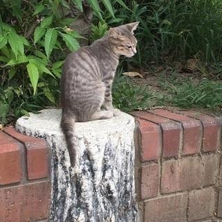 綺麗なグレーの仔猫