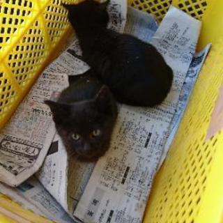 明日の朝まで 生後2ヶ月未満 子猫2匹 黒猫