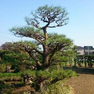 《造庭❗》赤松で和風に❕