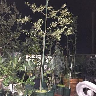 オリーブ大苗215cm(ネバディロブランコ)を¥5000で売ります。