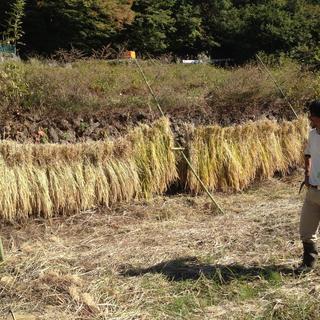 大自然の中、足踏み脱穀機で稲の脱穀!