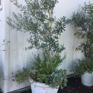 オリーブ鉢植え②