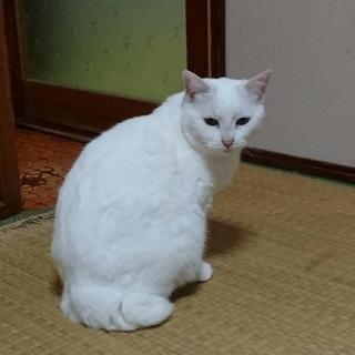 真っ白な猫です。