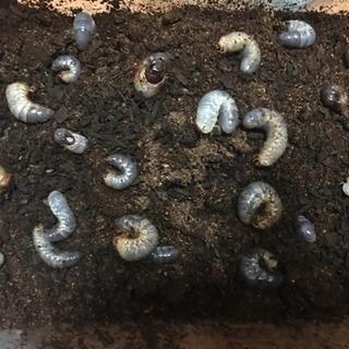 カブトムシの幼虫全50匹