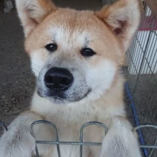 秋田犬の子犬(6ヶ月)里親募集