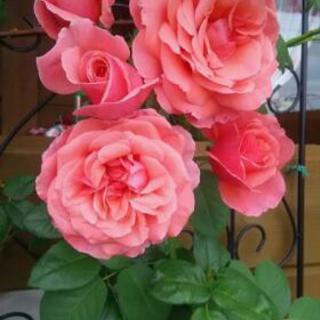 薔薇の好きな人