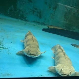 熱帯魚デルヘッチエンドリケリー27cm