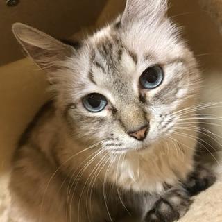 ブルーアイ、ボブテイルの美しい猫