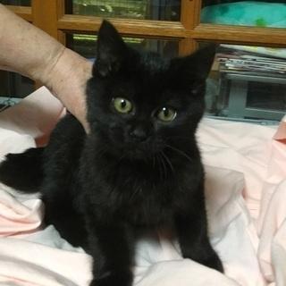 黒猫のクロ君 3か月 里親様募集中