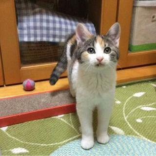 3ヶ月を過ぎた三毛猫(♀)です。モフモフです。
