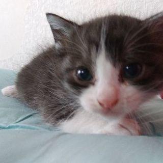 生後1ヶ月の子猫オス、メス