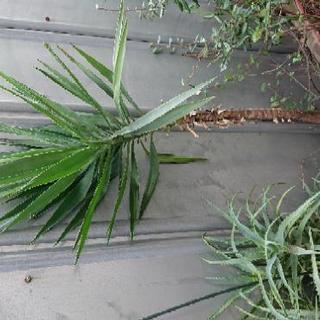 観葉植物 鉢植え 引っ越しのため 引き取ってください