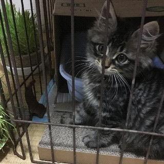 4ヶ月ぐらいの子猫、里親お願いします。慣れていてカワイイです!