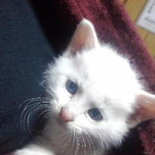 白猫 ライトブルーアイ メス猫 里親募集