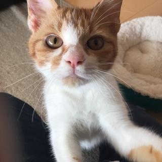 4か月半子猫(茶白)かわいがってくれる方募集