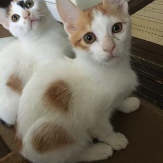 子猫 生後約3ヶ月 茶×白