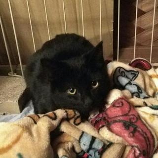 【お問い合わせ中】生後5ヶ月 黒猫ちゃん 女の子