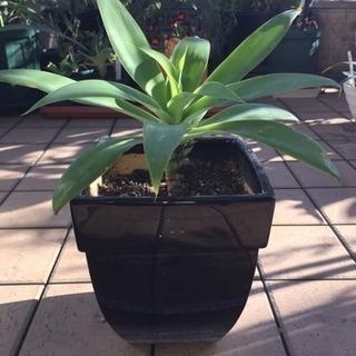 アガベアテナータ(黒陶器鉢)を¥3500で売ります。