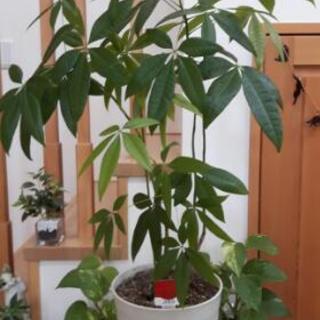 🍀【取引中】パキラ(観葉植物)🍀