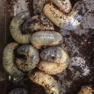 国産カブトムシ 3令幼虫   10匹