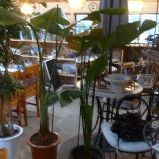 ◆観葉植物 オーガスタ(サイズ大・中・小あります)◆