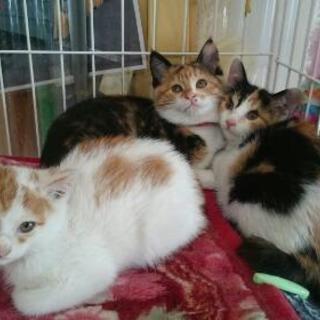 生後1ヶ月半~2ヶ月の三毛猫とトラ白の兄妹
