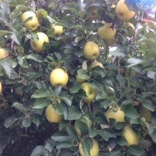 完熟りんご 王林2.5kg