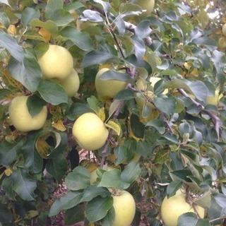 完熟りんご ぐんま名月 2.5kg