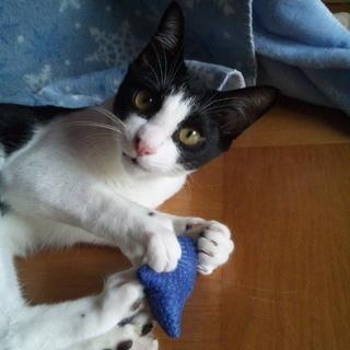生後半年・かわいい黒白猫さん(オス)