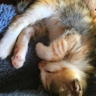 生後2ヶ月の三毛猫の子猫です(*^^*)