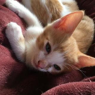 生後2ヶ月のあかねこの子猫です