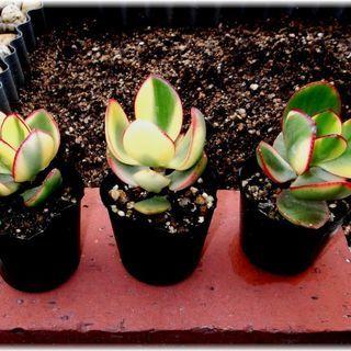 【多肉植物】クラッスラ属斑入りカゲツ(金のなる木)ポット入り若苗