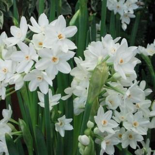 白花水仙 ペーパーホワイト 大球 発芽・発根 30個以上