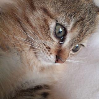 抱っこが大好き赤ちゃん子猫オス2ヵ月