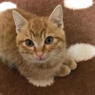 茶トラの子猫オス保護しました!超甘えん坊なもふもふ子猫くんです!