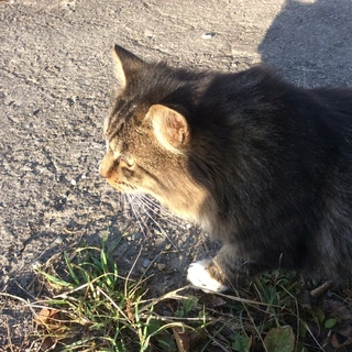 ペットショップ購入後棄てられたオス猫の里親さん至急募集