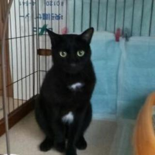 【里親さん決定致しました❗】黒猫 ボブ君✨ 二歳位 甘えん坊です🎵