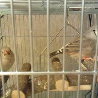 キンカチョウの若鳥 メス 4羽