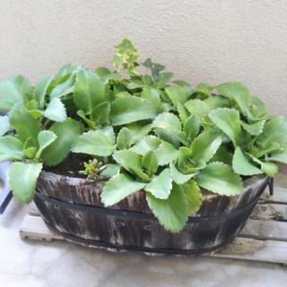 植物。子宝ベンケイソウ、ゼラニウム、アロエベラ、キダチアロエ、ふさ...