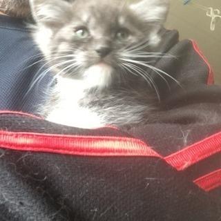 生後2ヶ月になったばかりの仔猫です。