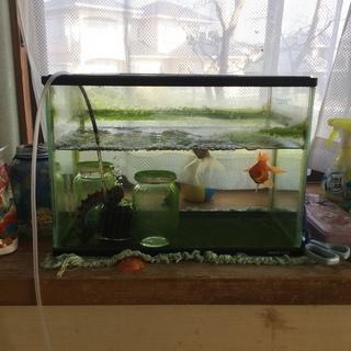 金魚鉢ごと金魚4匹付