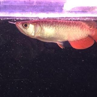 送料込み ロングフィン 過背金龍  熱帯魚 アロワナ 水槽