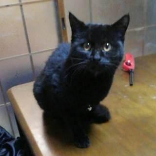 3日前の夜から黒猫が家に迷い込みました。多分飼い猫です!