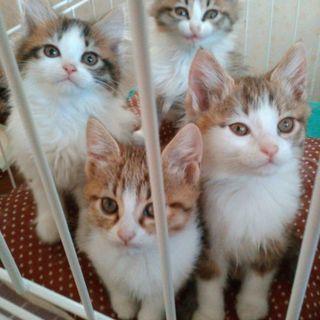 《受付終了》9月生まれ2カ月の子猫女の子4匹います♪里親様募集